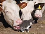 Крави и котенце